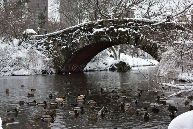 Die Enten, die im See im Central Park während des Schnees schwimmen, stürmen Niko Manhattan, New York City stockfoto