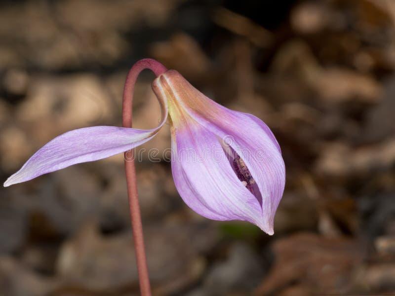 Die Enthüllung Erythronium HöhleCanis Knollenförmige krautartige mehrjährige Pflanze knospe lizenzfreie stockfotografie