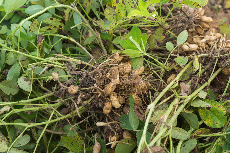 Die Erdnussanlagen, die vom Schmutz zeigt die Nüsse ausgezogen wurden, befestigten t lizenzfreie stockfotos