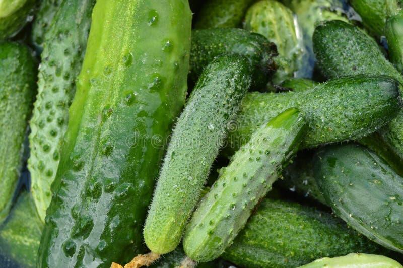 Die Ernte der frischen Gurkennahaufnahme, zerrissen vom Garten für das Einmachen stockbild