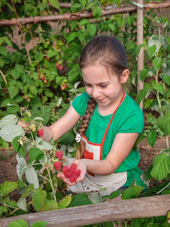 Die Erntehimbeeren der Kinder Ein nettes kleines Mädchen sammelt frische Früchte auf einem organischen Himbeerbauernhof Im Garten stockbild
