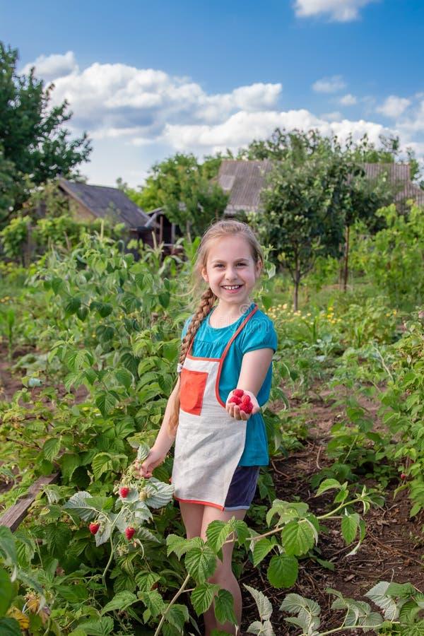 Die Erntehimbeeren der Kinder Ein nettes kleines Mädchen sammelt frische Früchte auf einem organischen Himbeerbauernhof Im Garten stockbilder