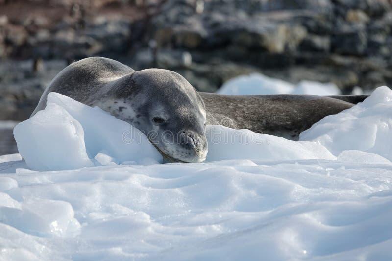 Die erstaunlichen Tiere von der Antarktis lizenzfreies stockbild
