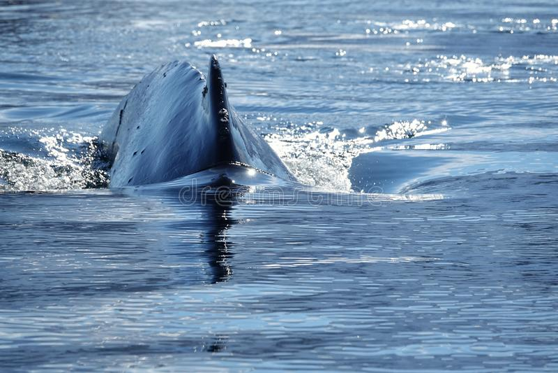 Die erstaunlichen Tiere von der Antarktis stockfoto