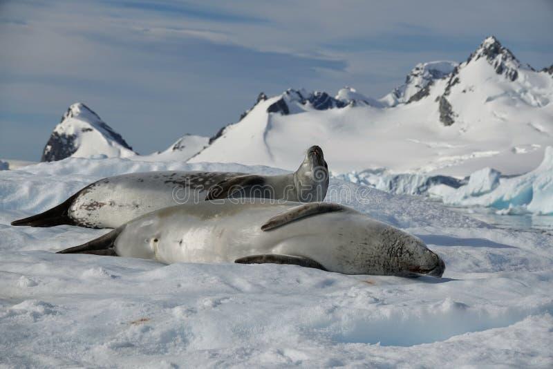 Die erstaunlichen Tiere von der Antarktis stockfotos