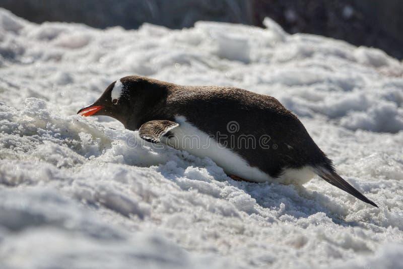 Die erstaunlichen Tiere von der Antarktis lizenzfreies stockfoto