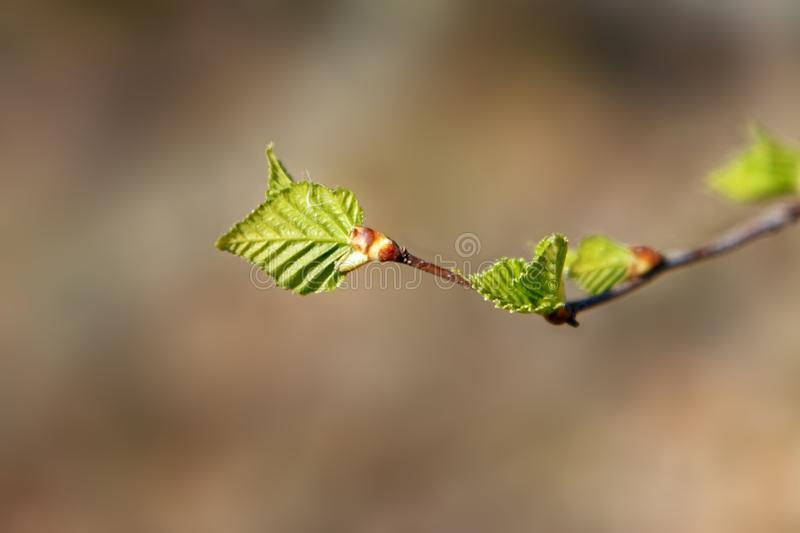 Die ersten Birkenblätter, die im Frühjahr erschienen stockfotos