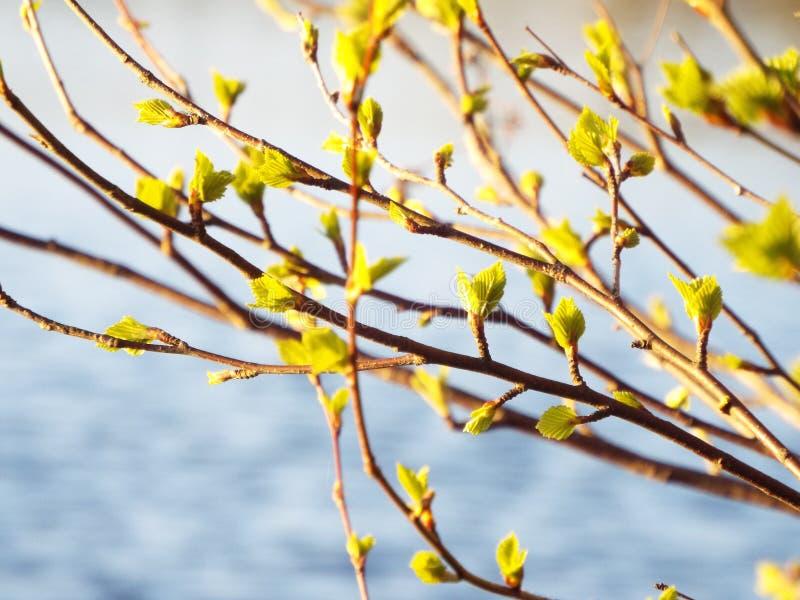 Die ersten Blätter auf der Birke im Frühjahr stockfotografie