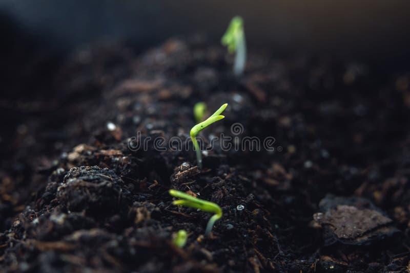 Die ersten Blätter von Grünpflanzen, die in das fruchtbare Land steigen Konzept von Gärtnerdiensten lizenzfreies stockfoto