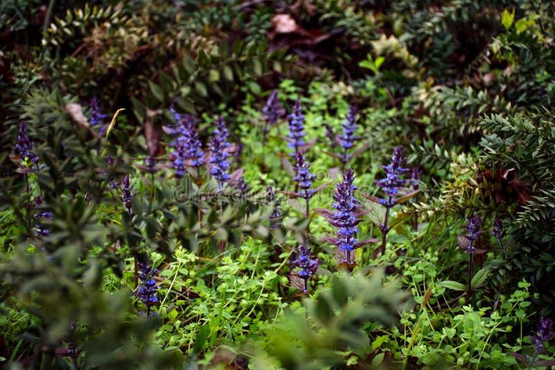 Die ersten Blumen des Lavendels lizenzfreies stockfoto