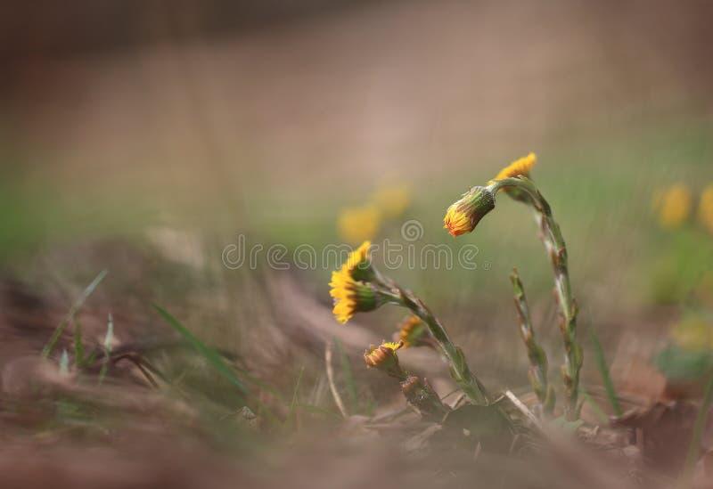 Die ersten Blumen fangen an zu blühen lizenzfreies stockbild