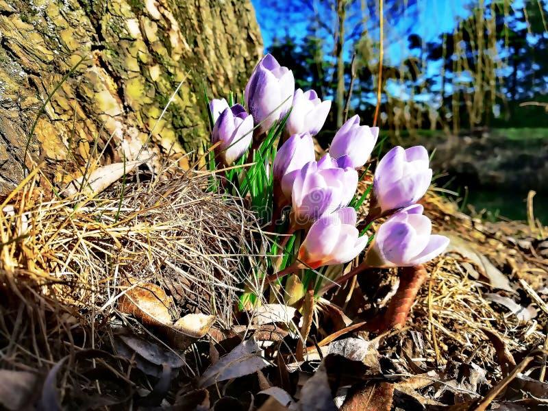 Die ersten Frühlingskrokusse unter dem Baum stockfotografie