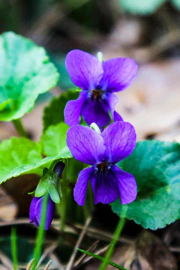 Die ersten Fr?hlingsblumen von Veilchen bl?hen auf einer Makrophotographie der hellen Fr?hlingstagesnahaufnahme stockbild