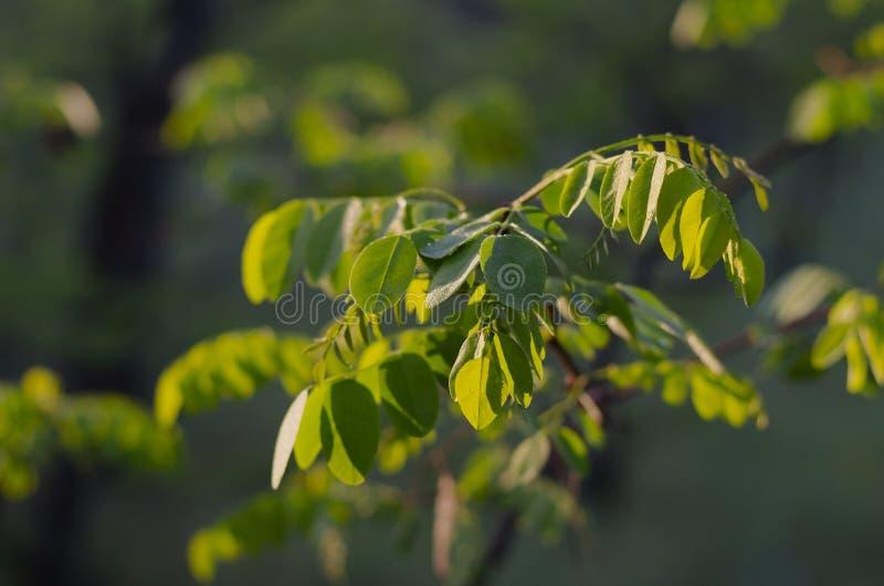 Die ersten grünen Blätter der Akazie stockfotos