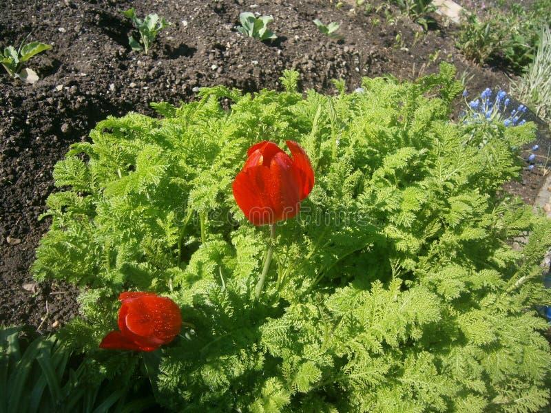 Die ersten Tulpen stockbilder