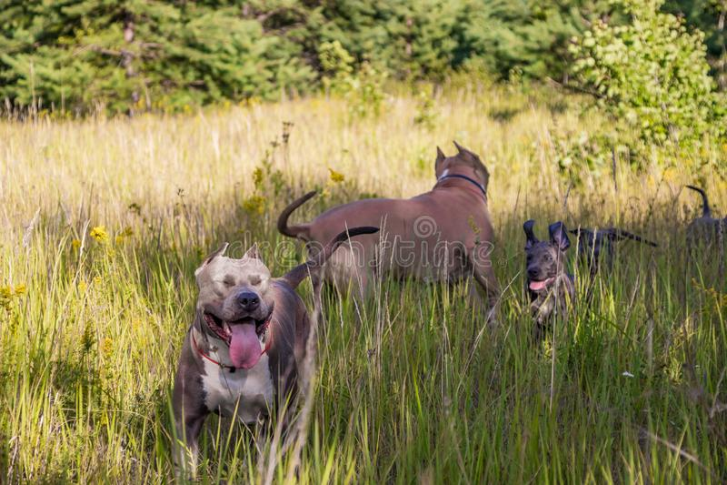 Die Familie Staffordshires Terrier lief heraus für einen Weg, die Mutter mit den Welpen gehen frei lizenzfreie stockfotografie