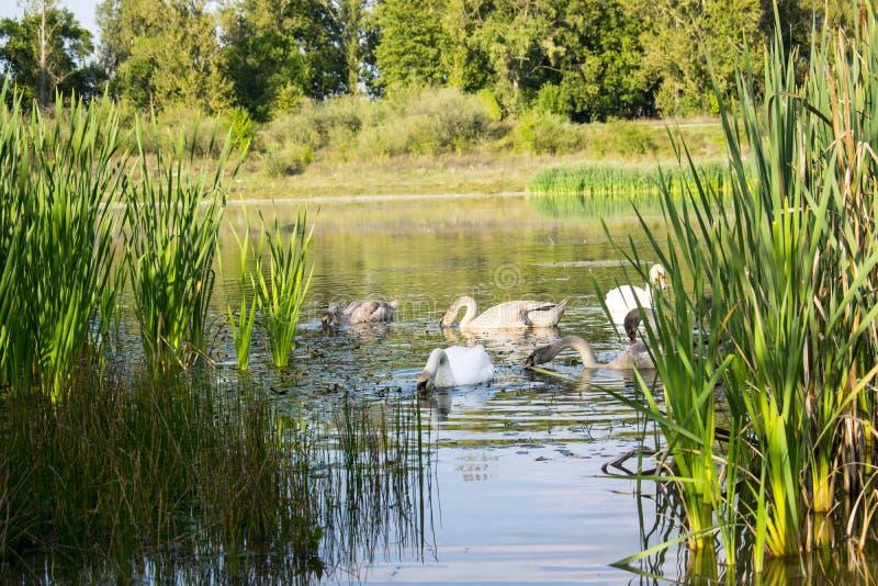 Die Familie von Schwänen schwimmt durch das Ufer stockfotografie