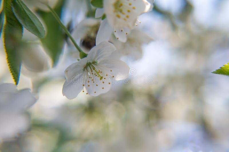 Die Farbe der Blumen des Aprikosenbaums im Frühjahr stockfotografie