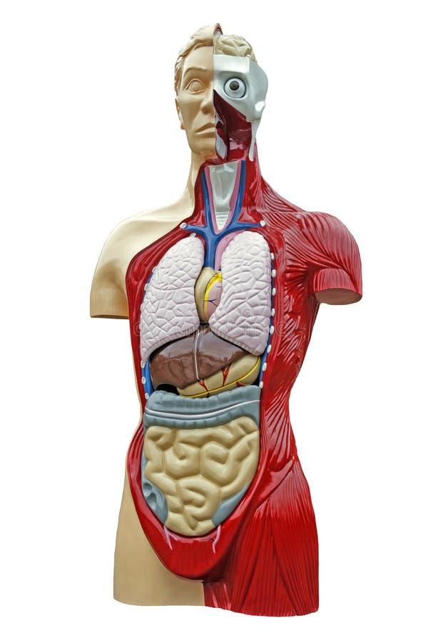 Anatomie Des Menschlichen Körpers Stockfoto - Bild von organe ...