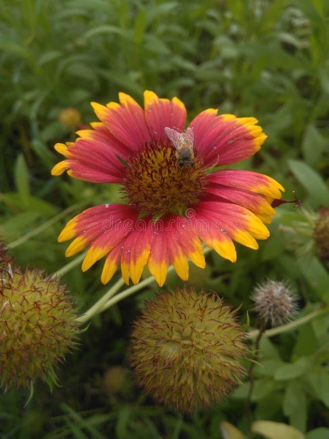 Die Fliege wählen Blütenstaub die Blume aus stockbild