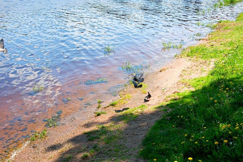 Die Flussbank mit Tauben stockfoto