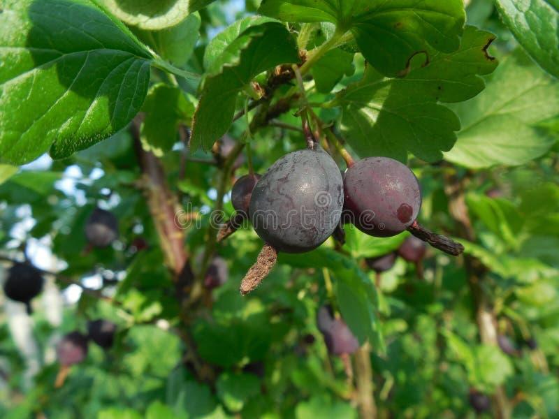 Die Früchte der Stachelbeere lizenzfreie stockfotos