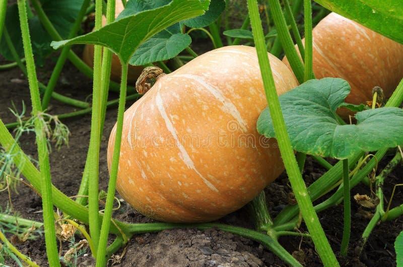 Die Früchte des Kürbises unter den Spitzen im Garten stockbild