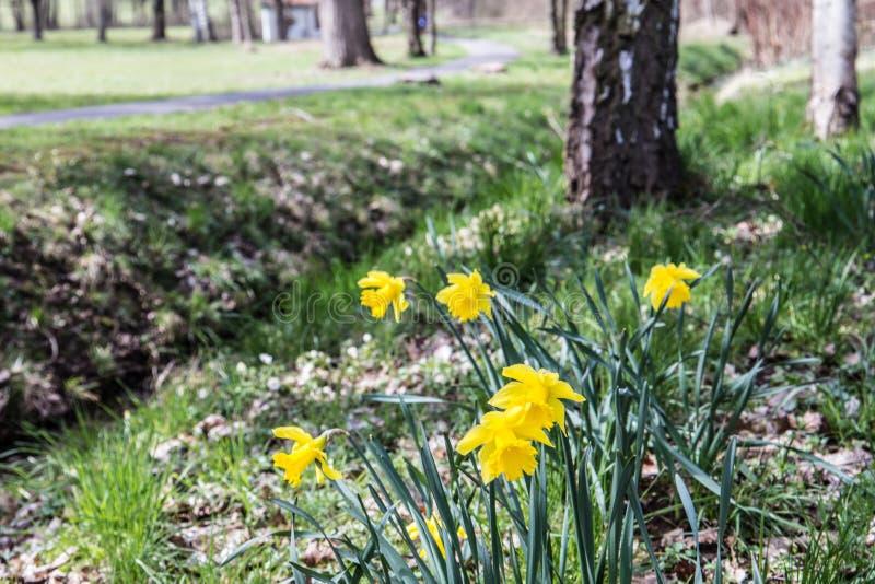 Die Frühlingsblumen im Wald, Deutschland stockbild