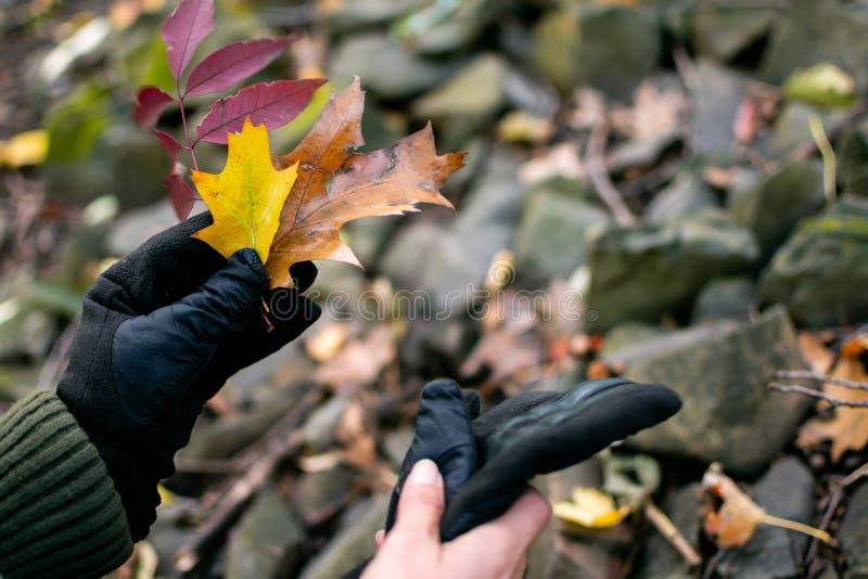 Die Frau, die den Herbstlaub in der Hand trägt Handschuhnatur-Erforschungshintergrund gestalten hält voll, Fotografie stockfotografie