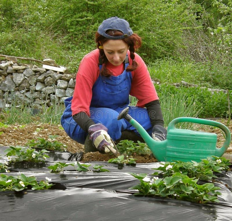 Die Frau gräbt Erdbeereplantagen lizenzfreie stockbilder