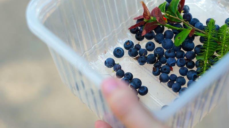 Die Frau hob sehr wenige Beeren wegen der schlechten Ernte auf lizenzfreie stockbilder