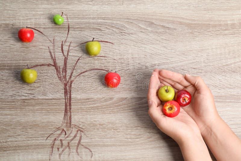 Die Frau, die kleine Äpfel hält, nähern sich Zeichnung des Baums stockfotografie
