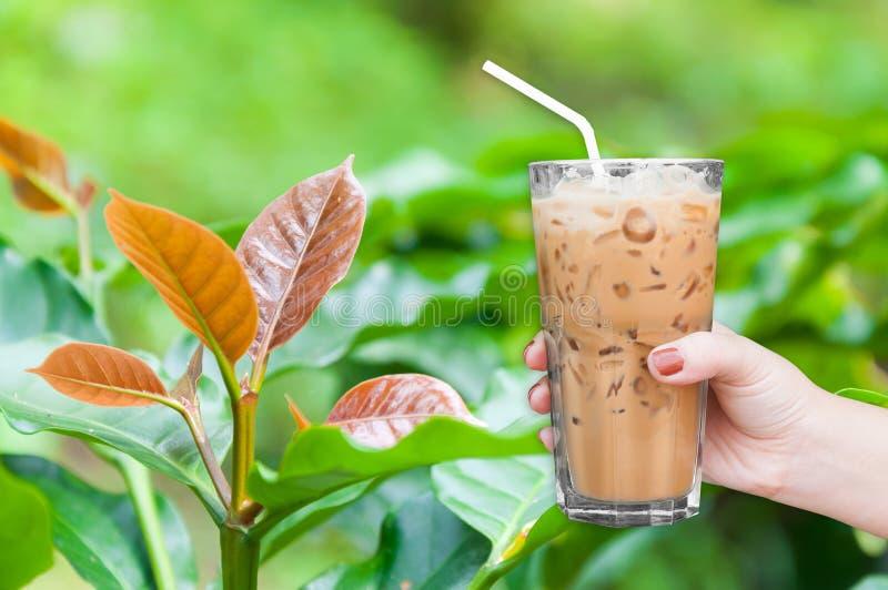 die Frauenhand, die den gefrorenen Glaskaffee auf Kaffeebaumjungen hält, treiben Blätter stockbilder