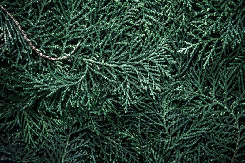 Die frische grüne Kiefer verlässt, orientalischer Arborvitae, Thuja orienta stockbild