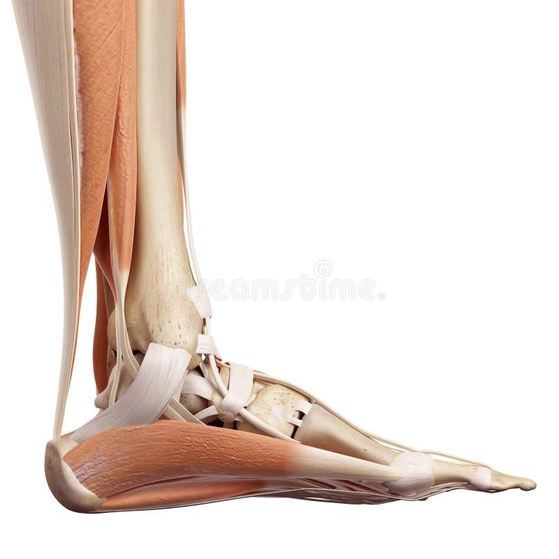 Die Fußmuskeln stock abbildung. Illustration von knöchel - 56287030