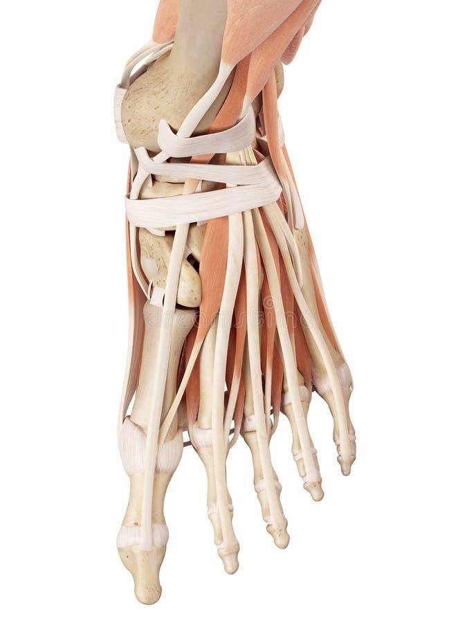 Die Fußmuskeln stock abbildung. Illustration von knöchel - 56287032