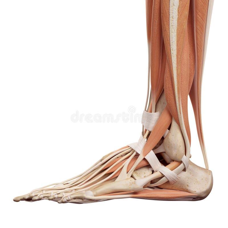 Die Fußmuskeln stock abbildung. Illustration von muskel - 56287036