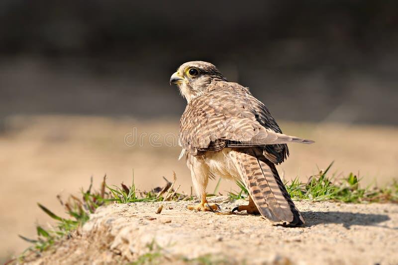 Die Furcht vor Vogeljägern stockbilder