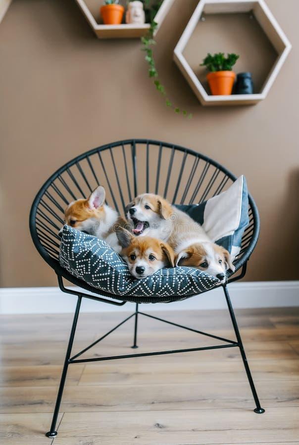 Die gähnenden Welpen liegen auf Stuhl zuhause lizenzfreies stockfoto