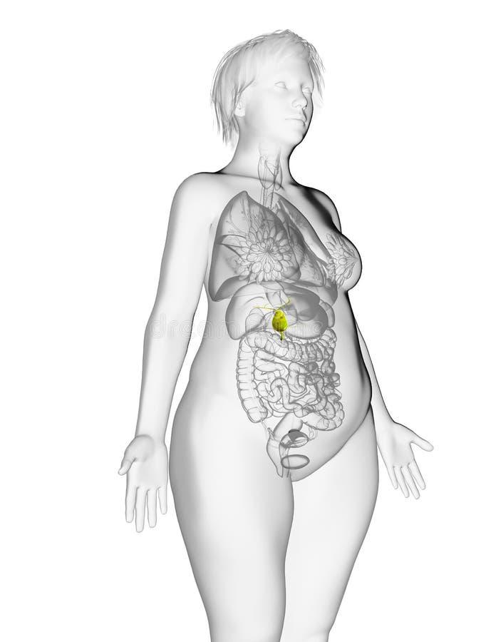 die Gallenblase einer beleibten Frau vektor abbildung