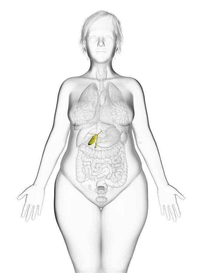die Gallenblase einer beleibten Frau stock abbildung