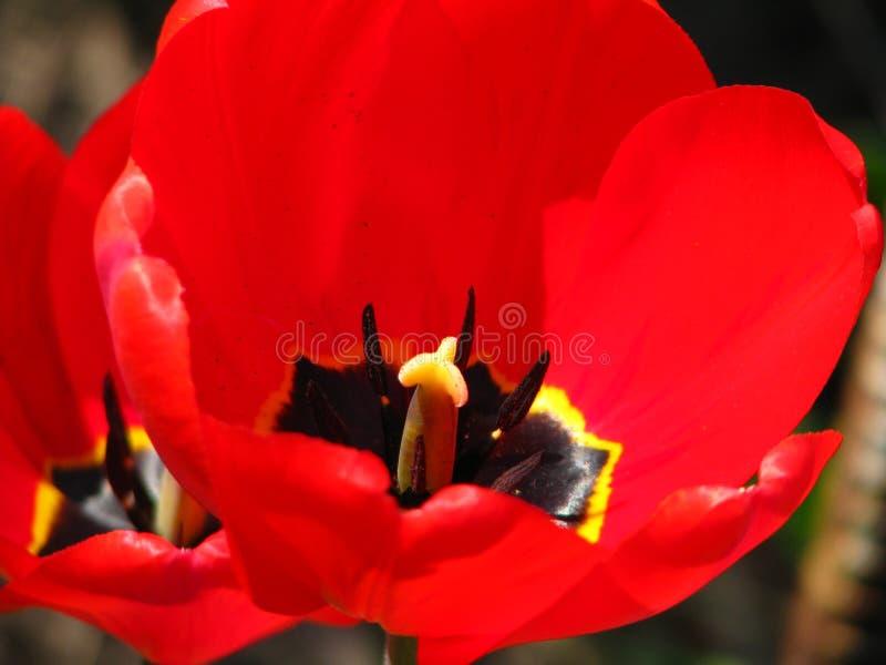 Die ganze 'innere 'Welt der Tulpe in einem Schuss lizenzfreie stockbilder