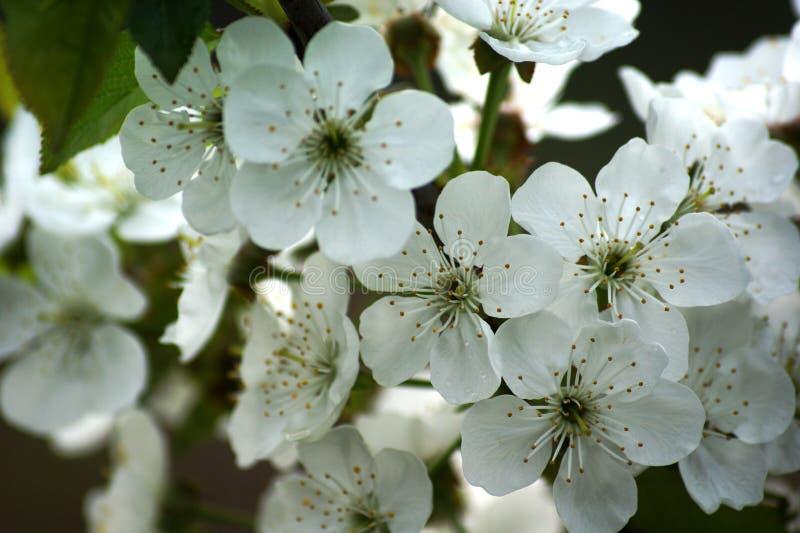Die ganze Baumeile zur Blüte Diese Kirschblüten lizenzfreie stockbilder