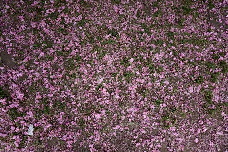 Die gefallenen Blumenblätter von Kirschekirschblüte auf dem Gras lizenzfreie stockfotografie