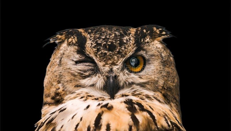 Die gehörnte Eule mit einem wachsamen Auge Lokalisiert auf einem schwarzen Hintergrund lizenzfreies stockbild