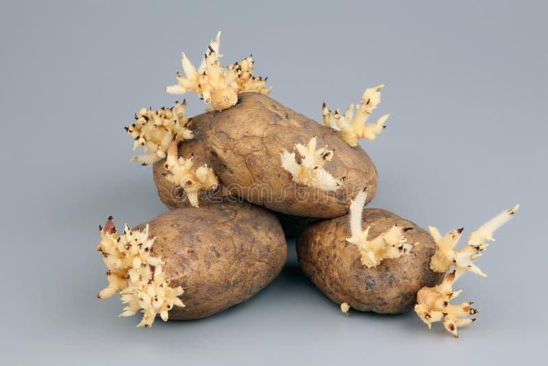 Die gekeimten Knollen einer Kartoffel lizenzfreie stockfotos