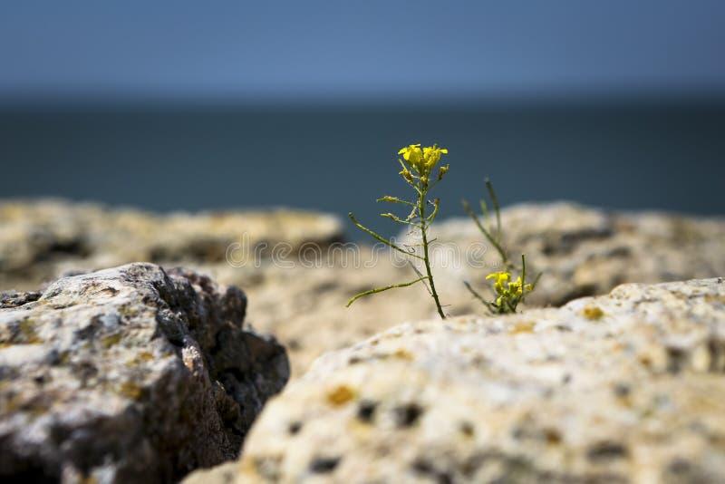 Die gelbe Blume wächst zwischen Steinen mit dem Meer im backg stockbilder