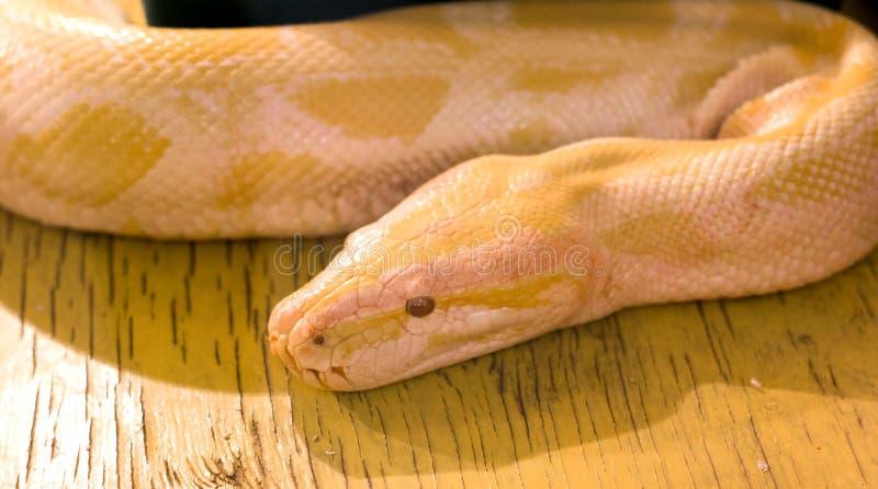 Die gelbe Boa constrictor im Terrarium lizenzfreies stockbild