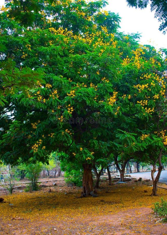 Die gelbe Entdeckung der grüne Baum stockfotos