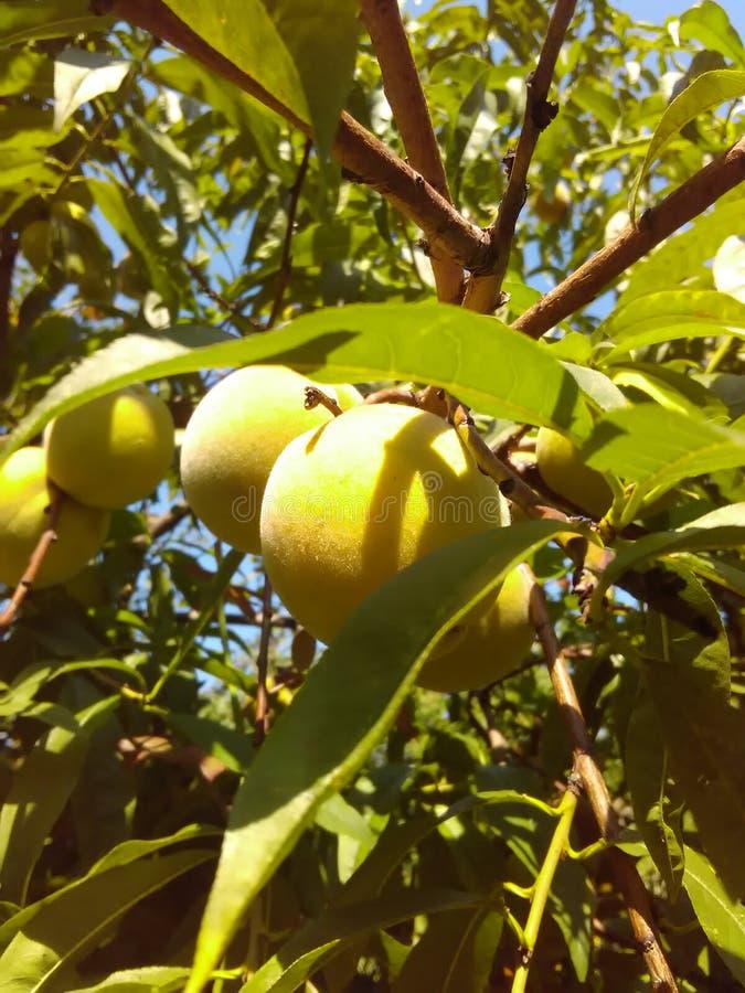 Die gelbe Frucht des Pfirsichbaums lizenzfreies stockbild